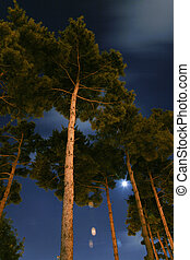 Night view of the pine forest