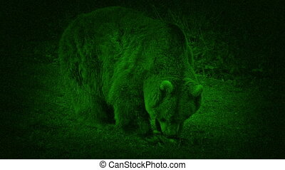 Night Vision Bear Eating - Closeup of large bear eating meat...