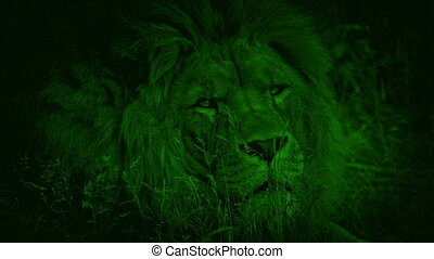 Night Vision Lion Turns And Looks At Camera