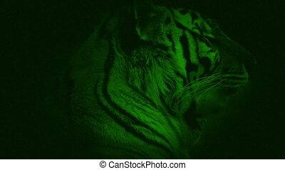 Night Vision Tiger Growling - Night-vision camera view of...