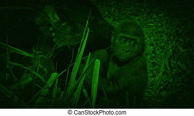 Night Vision View Of Baby Gorilla - Nightvision view of...