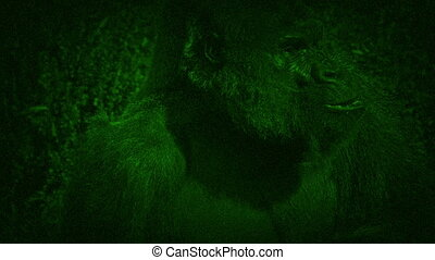Night Vision View Of Gorilla Eating Plants