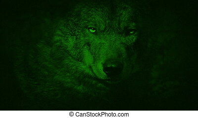 Night Vision View Of Wolf Growling - Night-vision view of a...