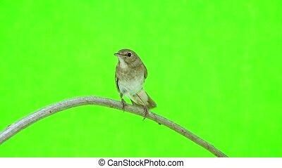 nightingale (Luscinia luscinia) isolated on a green...
