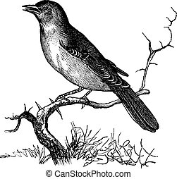 Nightingale or Luscinia megarhynchos or Rufous or Common Nightingale, vintage engraving. Old engraved illustration of Nightingale waiting on a branch.