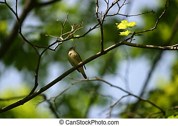 Nightingale - The nightingale sits on a branch of a tree ...