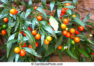 Nightshade berry