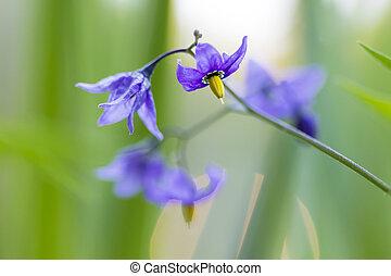 nightshade flowers in grass background