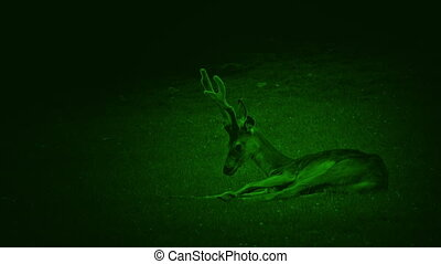 Nightvision Deer Resting In The Grass
