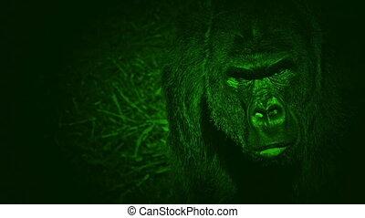 Nightvision Gorilla Looking Around The Jungle - Night-vision...