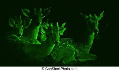 Nightvision Group Of Deer Look Up