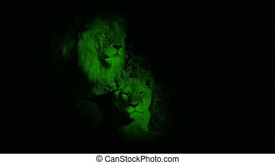 Nightvision Lion And Lioness In Dark Cave
