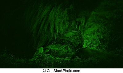Nightvision Lion Eating Dead Animal - Night-vision view of...