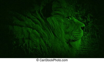 Nightvision Lion In The Grass - Night-vision view of lion...