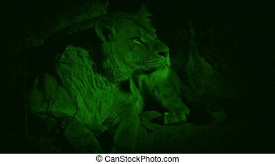 Nightvision Lioness Resting In Cave - Night-vision view of...