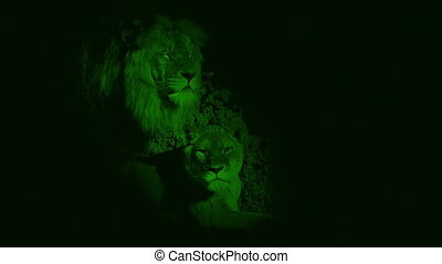 Nightvision Lions In Cave