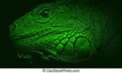 Nightvision Lizard Looking Around Closeup - Night-vision...