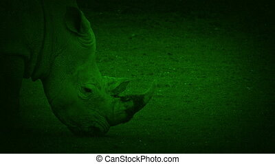 Nightvision Rhino Walks Past - Night-vision view of rhino...