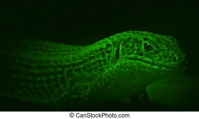 Nightvision Shot Of Cave Lizard - Night-vision shot of cave...