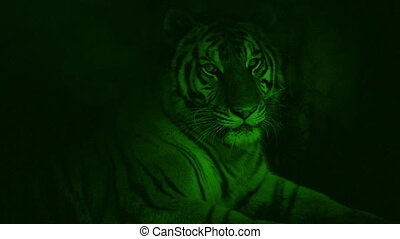 Nightvision Tiger Lying In Cave - Nightvision view of tiger...