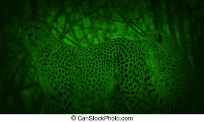 Nightvision View Of Cheetahs Stalking - Night-vision view of...