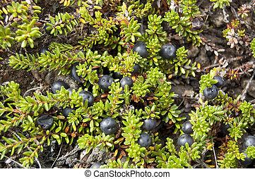 nigrum), crowberry, schwarz, (empetrum