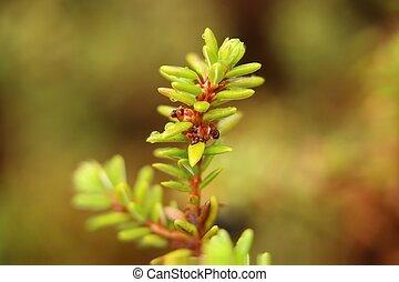nigrum, makro, junger, crowberry, blüten, empetrum