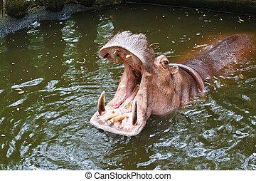 nijlpaard, open mond