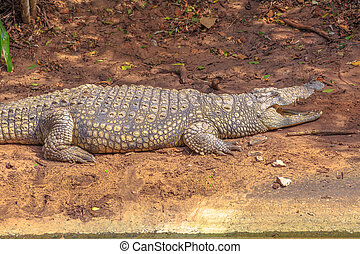 Nile Crocodile angry - African Crocodiles angry in Ezemvelo...