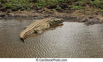 Nile crocodile basking - A Nile crocodile (Crocodylus...