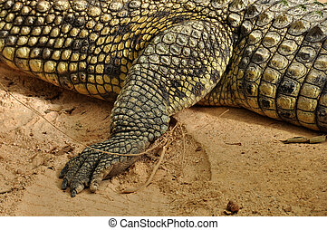 nile crocodile claws and skin detail - Nile crocodile claws ...