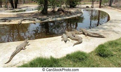 Nile Crocodile in Victoria falls - Nile Crocodile Crocodylus...