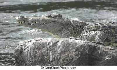 Nile crocodile over rock and river - Nile river, rock and...