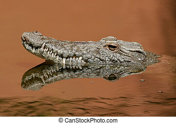 Portrait of a nile crocodile in water with reflection