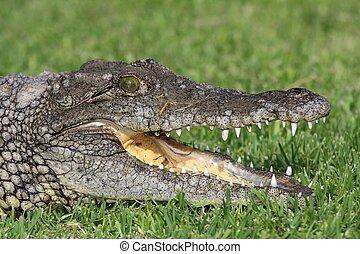 Nile Crocodile Portrait - Nile crocodile with open mouth...