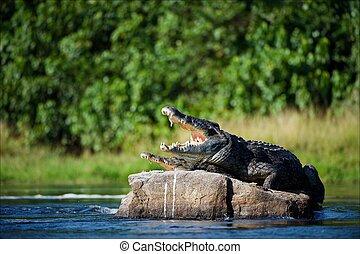 Nile crocodile. Two crocodiles , ?aving opened from a heat...