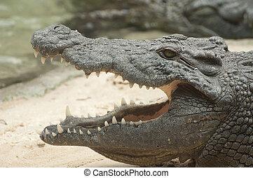 Nile Crocodile - A Nile Crocodile with open jaws showing its...