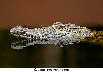 Nile crocodile - Portrait of a nile crocodile (Crocodylus...