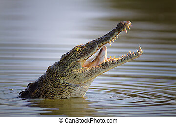 Nile crocodile swollowing fish - Nile crocodile swollowing a...