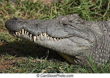 Nile Crocodile Teeth - Portrait of a Nile crocodile with...