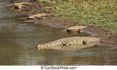 Nile crocodiles basking - Nile crocodiles (Crocodylus...