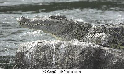 nile krokodil, op, rots, en, rivier