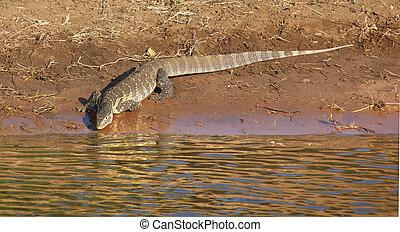 nile monitor in Botswana - sunny riparian scenery with nile...