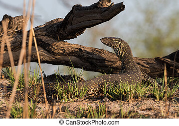 Nile monitor lizard posing