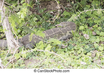 Nile monitor lizard, Queen Elizabeth National Park, Uganda
