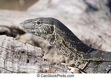 Nile monitor lizard sub adult. Okawango Delta, Botswana