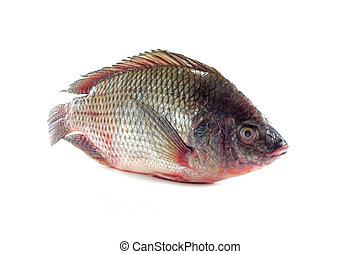 Nile tilapia fishes