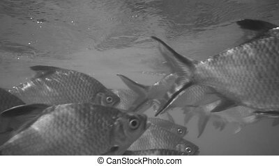 Nile tilapia in pond (Oreochromis niloticus) in Ratchaprapha Dam at Khao Sok National Park, Surat Thani Province, Thailand - black and white video