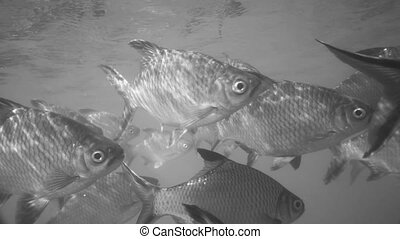 Nile tilapia in pond (Oreochromis niloticus) in Ratchaprapha Dam at Khao Sok National Park, Surat Thani Province, Thailand - black and white video in slow motion