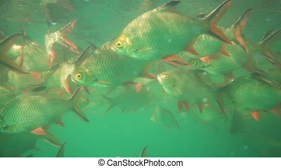 Nile tilapia in pond (Oreochromis niloticus) in Ratchaprapha Dam at Khao Sok National Park, Surat Thani Province, Thailand